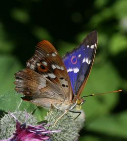 Lesser Purple Emperor| credit Kars Veling for Wildlifeextra.com