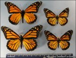 Wing size differences in monarch populations