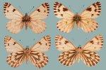 Pontia sisymbria nigravenosa series 1b