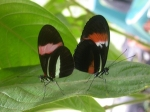 Heliconiid butterflies