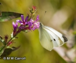 Pieris rapae, image by MW Carroll via BAMONA