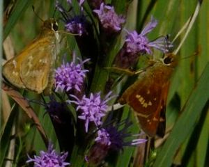 Beth Johnson captured this (probably female) Leonard's skipper (right, compared with sachem on the left) on liatris