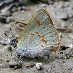 Early Hairstreak, Erora laeta (courtesy NABA)