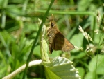 A target species for this trip -- Indian Skipper (photo Tom Stock)
