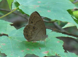 Appalachian Brown, photo by Tom Stock