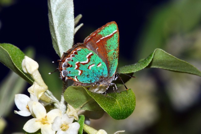 Walter Gould's photo of a Juniper Hairstreak shows some of the incredible colors many of our butterflies posses.  2012 April 9 in Green Ridge State Forest, MD