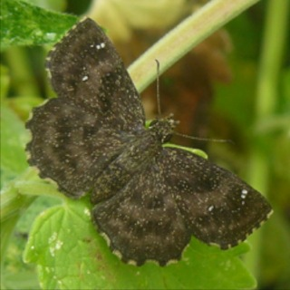 Hayhurst's Scallopwing takes advantage of a common garden weed, lambs' quarters, as a caterpillar host.  It will adapt readily to suburban life. Photo 2012 July 15, US National Arboretum.