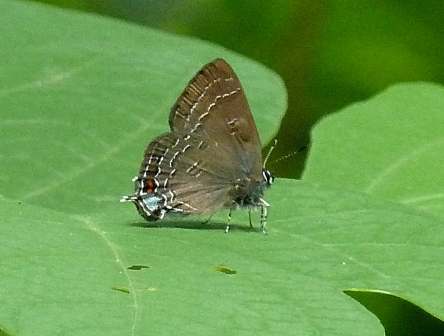 Banded Hairstreak, June 2013, in College Park, MD.  Photo by Tom Stock