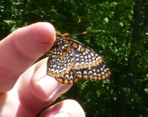2013 June 1 Baltimore Checkerspot Howard Co