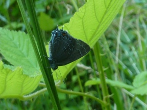 2013 June 4 Banded Hairstreak PG Co