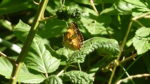 2013 June 4 Silvery Checkerspot PG Co