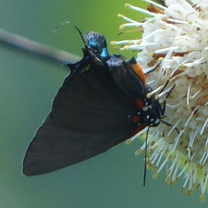 Great Purple Hairstreak DeCoursey_Beth Johnson