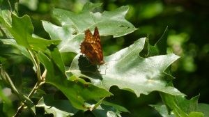 Tawny Emperor 2013 Friendship Farm Park