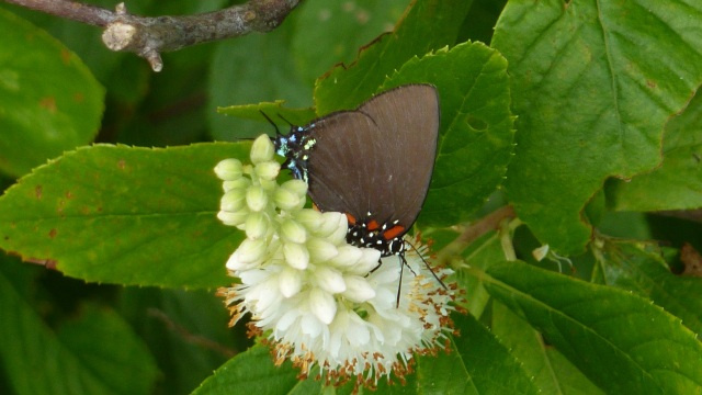 Great Purple Hairstreak on Clethra, 2013 July 27, Pocomoke City MD.  This hairstreak feeds exclusively on mistletoe, so its range is restricted to places where mistletoe grows -- in the East, mostly along the coast.