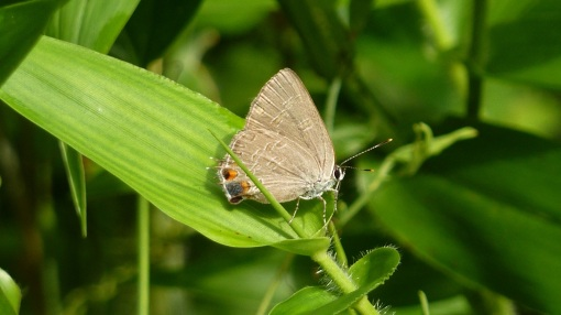 King's Hairstreak, near DelMar MD, 2013 July 27