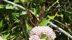 Palamedes Swallowtail on Swamp Milkweed, 27 July 2013, Pocomoke City MD