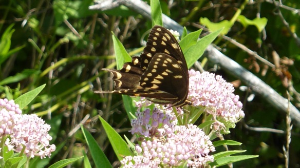 Palamedes Swallowtail on Swamp Milkweed, 2013 July 27, Pocomoke City MD