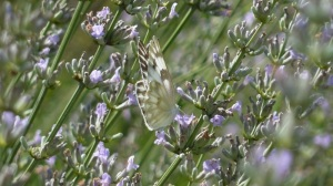 Checkered White at US National Arboretum, 2013 July 14 -- REB