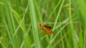 Delaware Skipper in Garrett Co MD