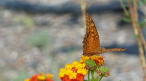 Mexican Fritillary, Falcon SP TX, 2013 Aug 17