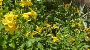 Yellow Bells, Tecoma stans, a Texas native (aka Esperanza)