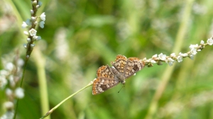 Walker's Metalmark, 2013 Aug 18, Resaca de la Palma SP TX