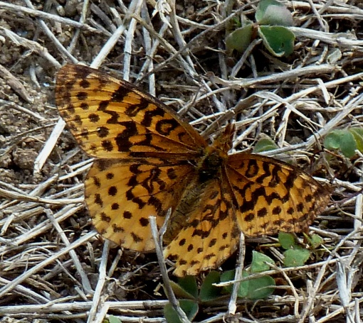 Meadow Fritillary, 2013 Sept 24, Silver Spring MD.  Photo by Tom Stock.