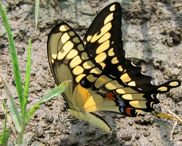 "Giant Swallowtail is one of the largest butterflies in the U.S.  In recent years it has expanded its range from its normal southern distribution up into Canada.  In the South, where they caterpillars feed on citrus and sometimes cause substantial damage, the caterpillars are sometimes known as ""orange dogs."""