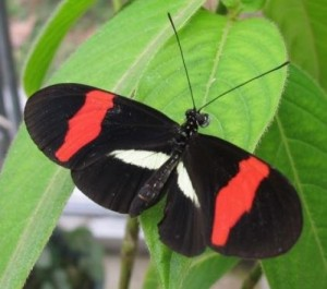 A new CU-Boulder study led by doctoral student Tobin Hammer has shown the internal microbial make-up of the red postman butterfly changed dramatically from caterpillar to pupa to adult. This is the first time researchers have ever sequenced the entire microbiome of a butterfly. Credit: Tobin Hammer, University of Colorado