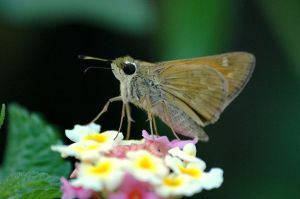 1024px-Sachem_Skipper_female