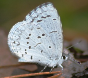 Holly Azure by Sean McElhone => Jones Lake State Park 2006-03-11.  Courtesy North Carolina Butterfly Website