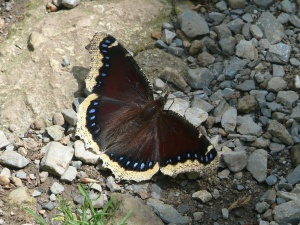 2010 Mourning Cloak by Jan Meyer taken June 6 in Shenandoah NP VA