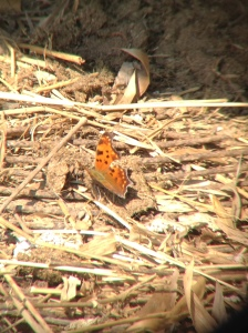 Tom Ostrowski's 2014 March 21 sighting of Eastern Comma in Chapman State Park, Charles Co MD