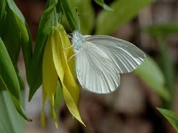 West Virginia White -- photo courtesy wisconsinbutterflies