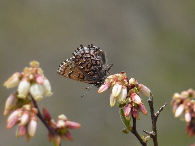 Eastern Pine Elfin on highbush blueberry