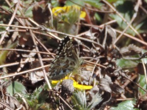 Appalachian Grizzled Skipper from Allegheny Co VA, 2014 APR 21.  Photo courtesy Mike Smith.
