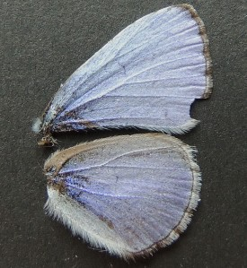 Celastrina ladon ladon dorsal view