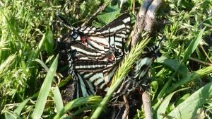 Zebra Swallowtails on scat in the Great Dismal Swamp VA 2014 APR 12 [REB]