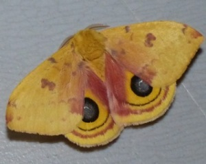 Io Moth at Swain Rd Citgo station.  Photo by Beth Johnson.