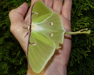 Luna Moth at Swain Road Citgo.  Photo by Beth Johnson