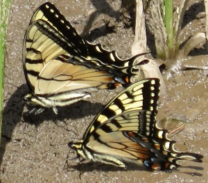 Photo by: Brian Bockhahn, Paul Scharf Comment: Larger upper=Appalachian Tiger Swallowtail. Smaller lower=Eastern Tiger Swallowtail. Avery Co. 2014-05
