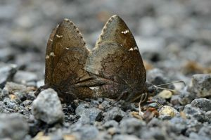 Northern Cloudywing pair in Green Ridge State Forest, 2014 May 15, observed by Maxim Larrivee