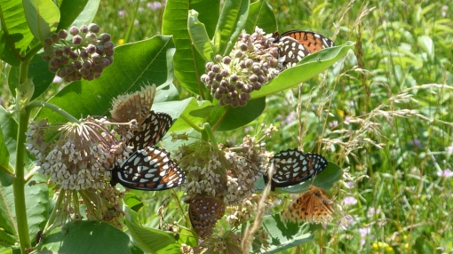 Regal Fritillaries mob milkweed on the 2013 Ft. Indiantown Gap tour