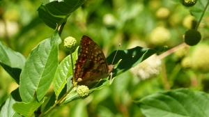 Tawny Emperor in Bayview Butterfly Garden, Eastern Neck NWR, June 20, 2014 [REB]