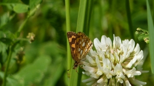 Arctic Skipper, near Beaver Meadows Campground, Allegheny National Forest PA [REB, 2014 June 22]