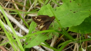 'Pocahantas' dark form female Hobomok Skipper in the wet meadow near the Mooresville Rd fishing pond, Indian Springs WMA