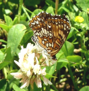 Harris Checkerspot in Buzzard Swamp PA [Tom Stock, 2014 June 21]