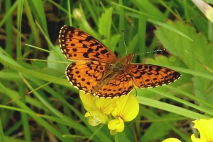 Silver-bordered Fritillary, Buzzard Swamp PA [Tom Stock, 2014 June 21]