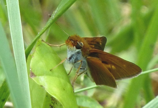 Life for both of us!  Two-spotted Skipper in the parking lot of Buzzard Swamp PA [Tom Stock, 2014 June 22]