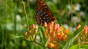 Textbook Aphrodite Fritillary at Herrington Manor SP [2014 July 12, REB]